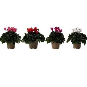 Cyclamen persicum SUPER SERIE S JIVE MIX (OK Plant)