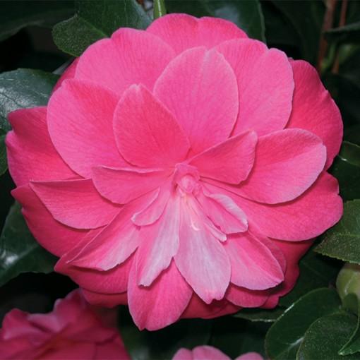 Camellia japonica 'L'Avvenire' (Flora Toscana)