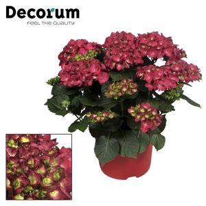 Hydrangea macrophylla HOT RED (JoGrow B.V.)