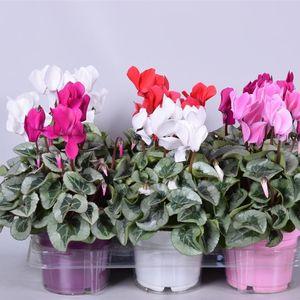 Cyclamen persicum SUPER SERIE REMBRANDT MIX (Adrichem Potplanten)
