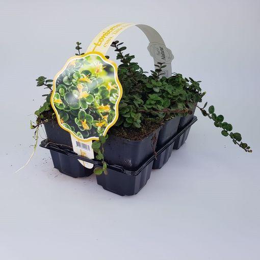 Lonicera crassifolia 'Little Honey' (Sneijers Boomkwekerij)