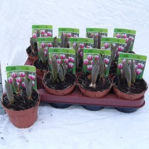 Tulipa 'Toplips' (Gebr. Straathof)