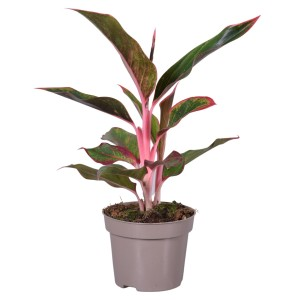 Aglaonema LIGHT PINK STAR