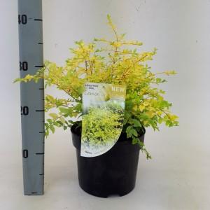Ligustrum ovalifolium 'Lemon and Lime' (Dool Botanic)