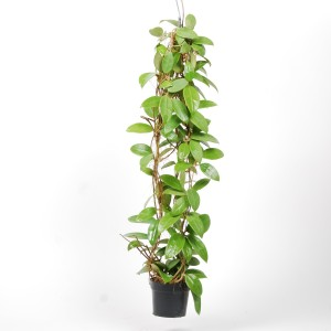 Hoya parasitica (Van der Arend Tropical Plantcenter)