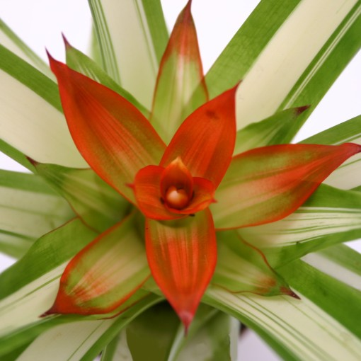 Guzmania 'Tempo' (Ammerlaan, The Green Innovater)