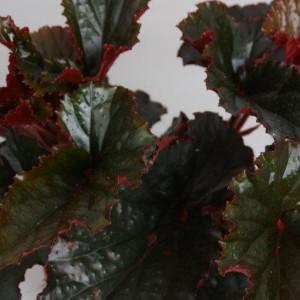 Begonia 'Black Magic' (Handelskwekerij van der Velden)