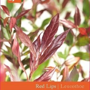 Leucothoe RED LIPS (Snepvangers Tuinplanten BV)