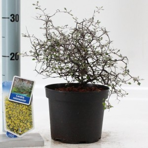 Corokia cotoneaster (About Plants Zundert BV)