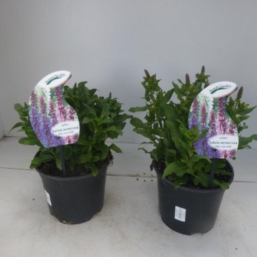 Salvia nemorosa MIX (Experts in Green)