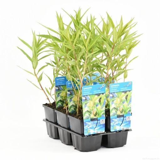 Lysimachia thyrsiflora (Moerings Waterplanten)