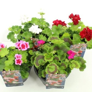 Pelargonium AMERICANA MIX
