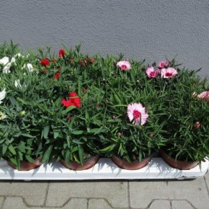 Dianthus chinensis MIX