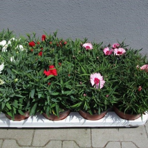 Dianthus chinensis MIX (Experts in Green)