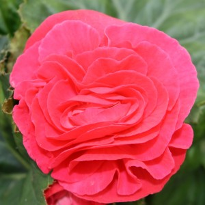 Begonia 'Fortune Dark Rose'