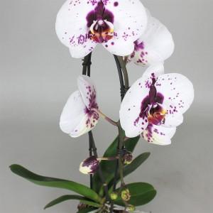 Phalaenopsis BIG STAR (Leerdam Orchideeën)
