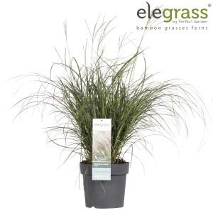 Miscanthus sinensis 'Adagio' (Hoogeveen Plants)