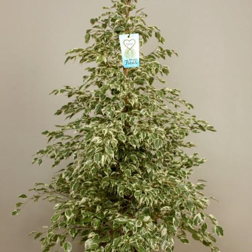 Ficus benjamina 'Starlight' (Kwekerij de Schenkel)