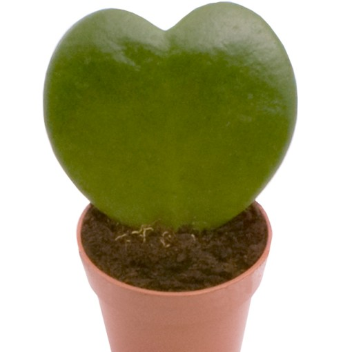 Hoya kerrii (Gasa DK)