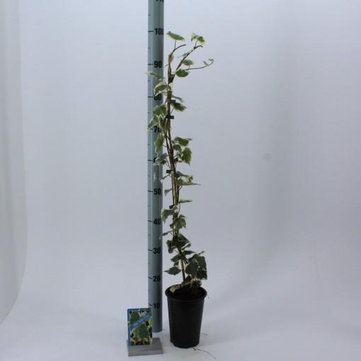 Hedera colchica 'Dentata Variegata' (About Plants Zundert BV)