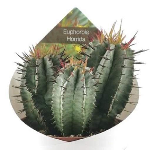 Euphorbia horrida (Giromagi)