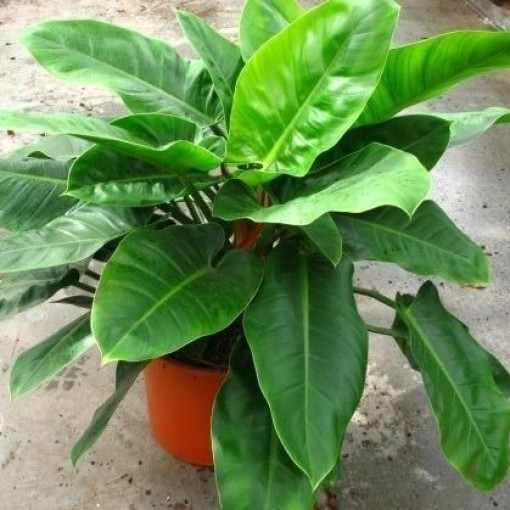 Philodendron 'Imperial Green' (Snoeker)