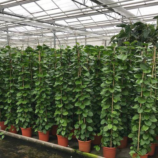 Hoya australis (Van der Arend Tropical Plantcenter)