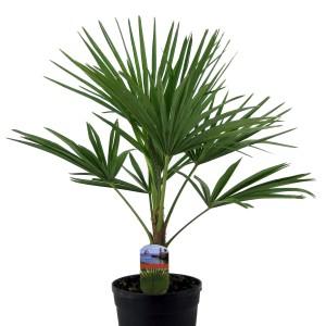 Trachycarpus fortunei (Luiten kwekerij)