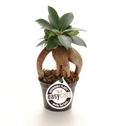 Ficus microcarpa 'Ginseng' (GASA Group)