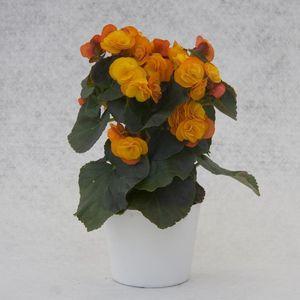 Begonia 'Catrin'