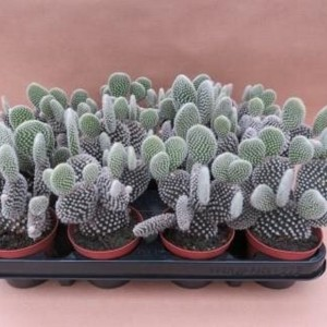 Opuntia microdasys 'Albispina'
