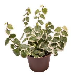 Ficus pumila 'Bellus'