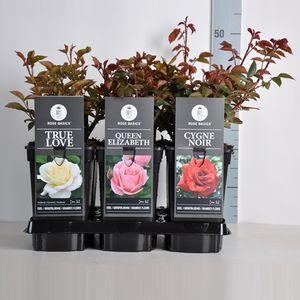 Rosa HYBRID TEA MIX (Lakei Boomkwekerijen)