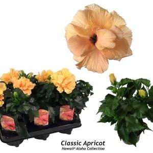 Hibiscus rosa-sinensis 'Classic Apricot'
