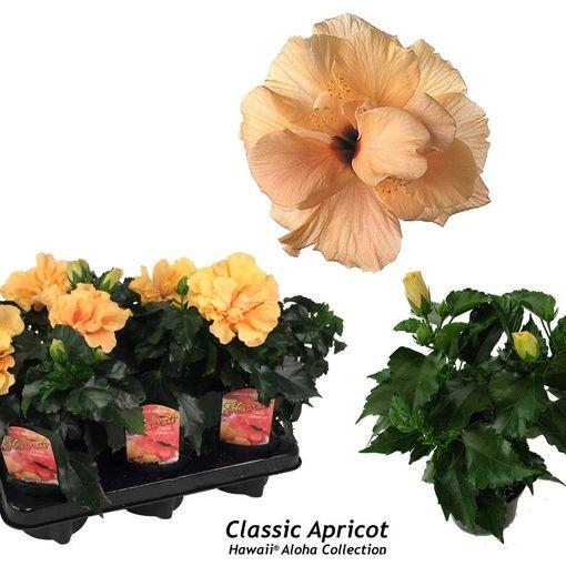 Hibiscus rosa-sinensis 'Classic Apricot' (Gasa DK)