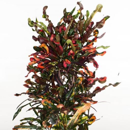 Codiaeum variegatum 'Curly Boy' (Ammerlaan, The Green Innovater)
