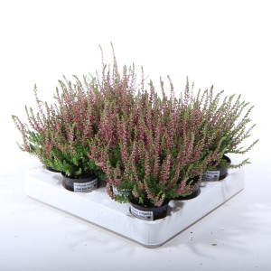Calluna vulgaris 'Red Sun'