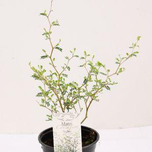 Sophora 'Little Baby' (Special Plant Zundert)