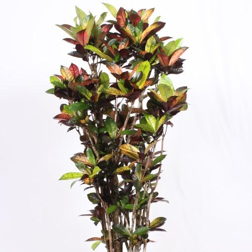 Codiaeum variegatum 'Mrs Iceton' (Fachjan)