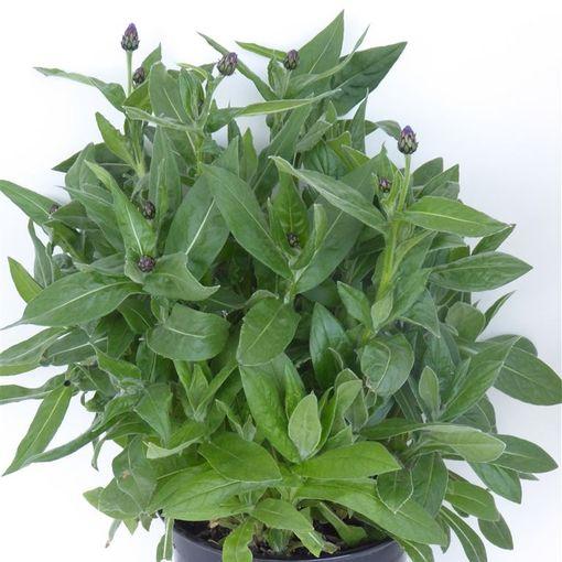 Centaurea montana (Experts in Green)