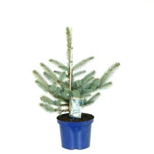 Picea pungens 'Koster' (Kwekerij Vredebest)