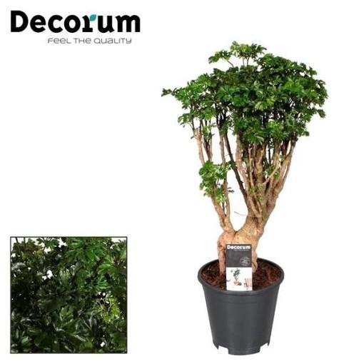 Polyscias fruticosa (JoGrow B.V.)