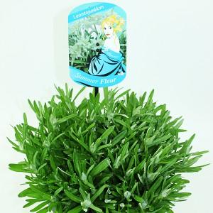 Leontopodium alpinum (Experts in Green)