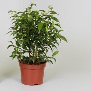Ficus benjamina 'Natasja' (Kwekerij J. de Groot BV)