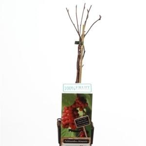 Schisandra chinensis (Hoogeveen Plants)