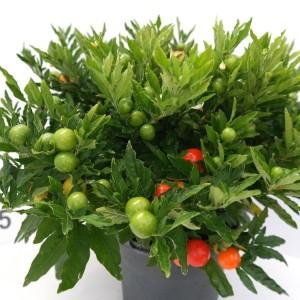 Solanum pseudocapsicum 'Mandarin'