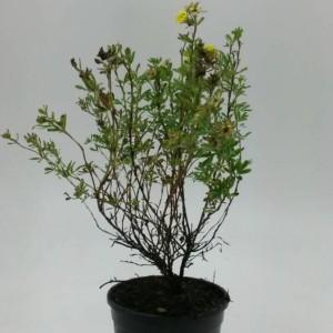 Potentilla fruticosa 'Klondike'