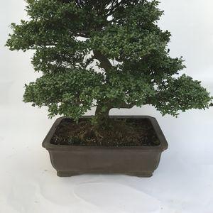 Ilex crenata 'Yixing' (M&M Garden)