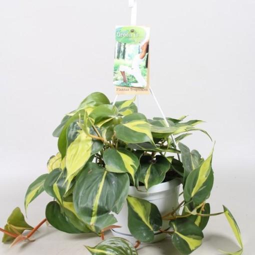 Philodendron scandens 'Brasil' (Vireõ Plant Sales)