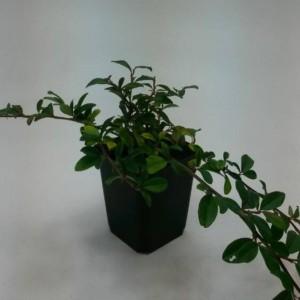 Cotoneaster dammeri (WTM de Boer)